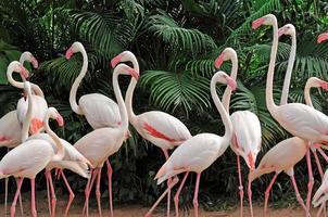 groep roze flamingo's foto