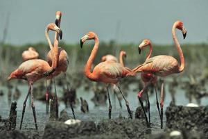 grote flamingo (phoenicopterus ruber) foto