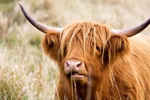 hoogland koe