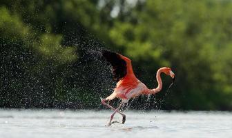 de flamingo loopt over het water met spetters foto