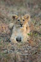 Aziatische leeuwenwelp foto