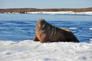 walrus koe foto