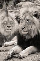 twee leeuwen foto