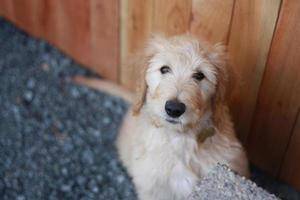 goldendoodle puppy camera kijken foto