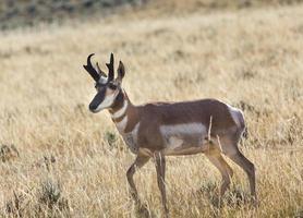 Gaffelbok antilope foto