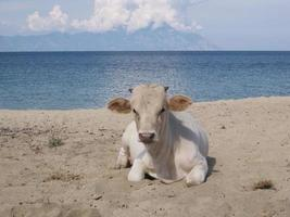 koe op het strand foto