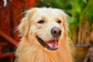 schattig gezicht golden retriever hond foto