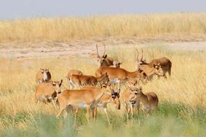 wilde saiga antilopen kudde in kalmykia steppe foto