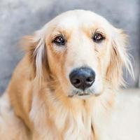 golden retriever hond foto