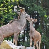 paar kudu's foto