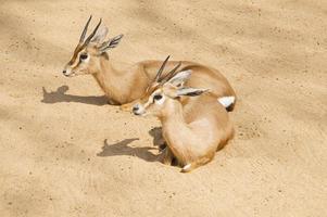twee gazellen foto