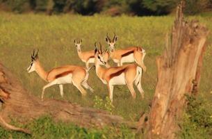 springbok, Afrikaanse dieren in het wild - portret van de vrije