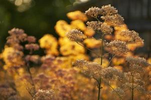 weide medische kruiden in geel zonlicht (kervel-anthriscus cerefolium) foto