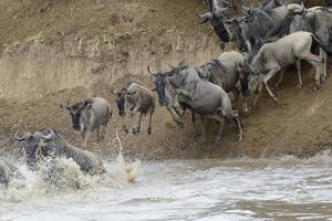 gnoes springen in de Mara rivier bij het oversteken van de rivier. foto