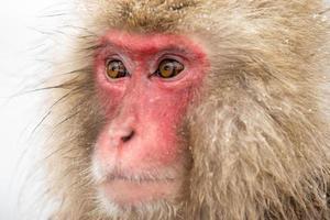 sneeuw aap foto