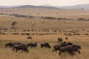 enorme kudde gnoes in de savanne van Kenia foto