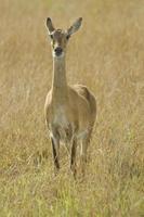 Oeganda Kob in Queen Elizabeth National Park, Oeganda Afrika foto