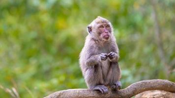 makaak met lange staart foto