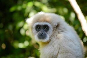 wit onder ogen gezien gibbon foto