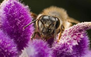 honingbij op paarse bloem foto