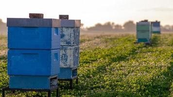 bijenkorven voor bestuiving in een klaver veld foto