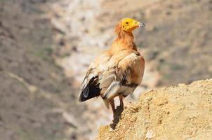 Egyptische gier (neophron percnopterus) op socotra foto