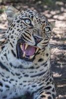 grommende luipaard met enorme tanden foto