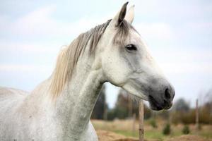 wit paard op het weiland portret foto