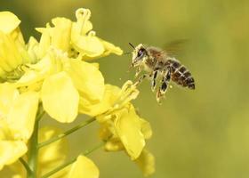 honingbij vliegen foto