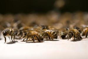honingbijen foto