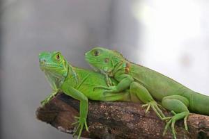 paar groene leguaan foto