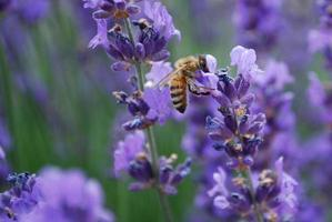 bijen op lavendel bloem