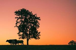 zonsondergang silhouet van koeien foto