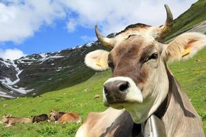 de mooie koe foto