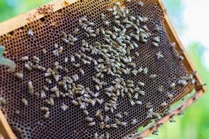 honingraat met honingbijen foto