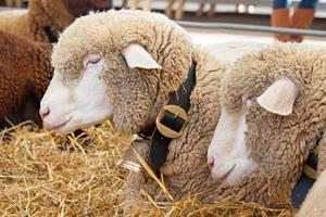 Zwitserse koeienboerderij foto