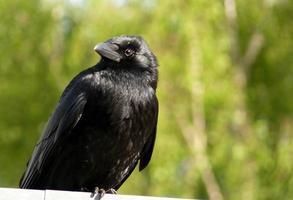 zwarte vogel foto