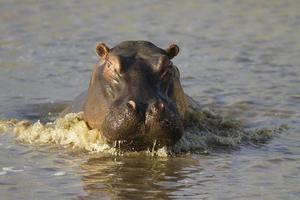 nijlpaard opladen foto