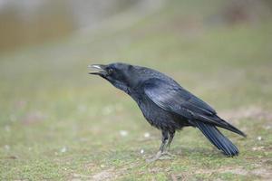 zwarte kraai, corvus corone foto