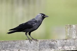 kauw, corvus monedula foto