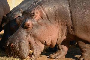 nijlpaard foto
