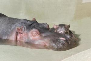 moeder nijlpaard en haar pasgeboren foto