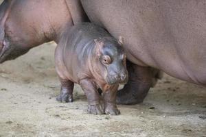 pasgeboren nijlpaard en haar moeder foto
