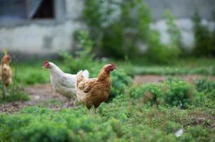 kip in gras op een boerderij foto