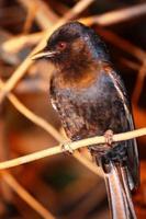 palewinged spreeuw 's nachts foto