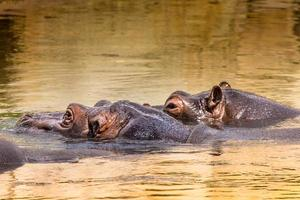 Afrikaanse nijlpaarden in hun natuurlijke omgeving. Kenia. Afrika. foto