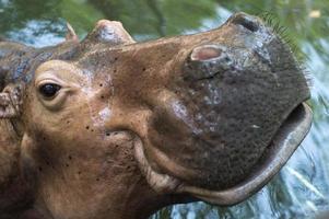 nijlpaard rijden in het water foto