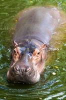 nijlpaard. foto