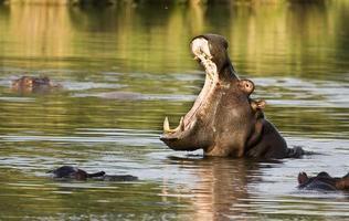 wild nijlpaard geeuwen in de rivier, kruger park foto