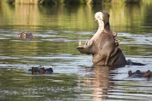 wild nijlpaard geeuwen in de rivier, kruger park